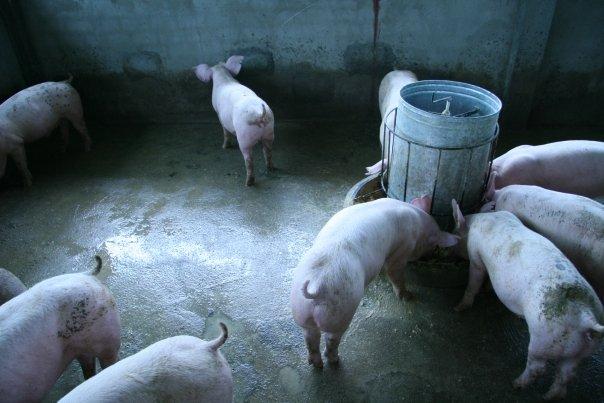pigfarm2